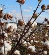 Bättre bomull, BCI better cotton initiative, Fairtrade, Ekologisk bomull